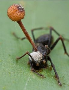 a Cordyceps mushroom growing out of an ants head